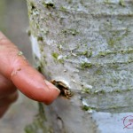 It's Time to Harvest Birch Sap! Taste This Heavenly Drink!